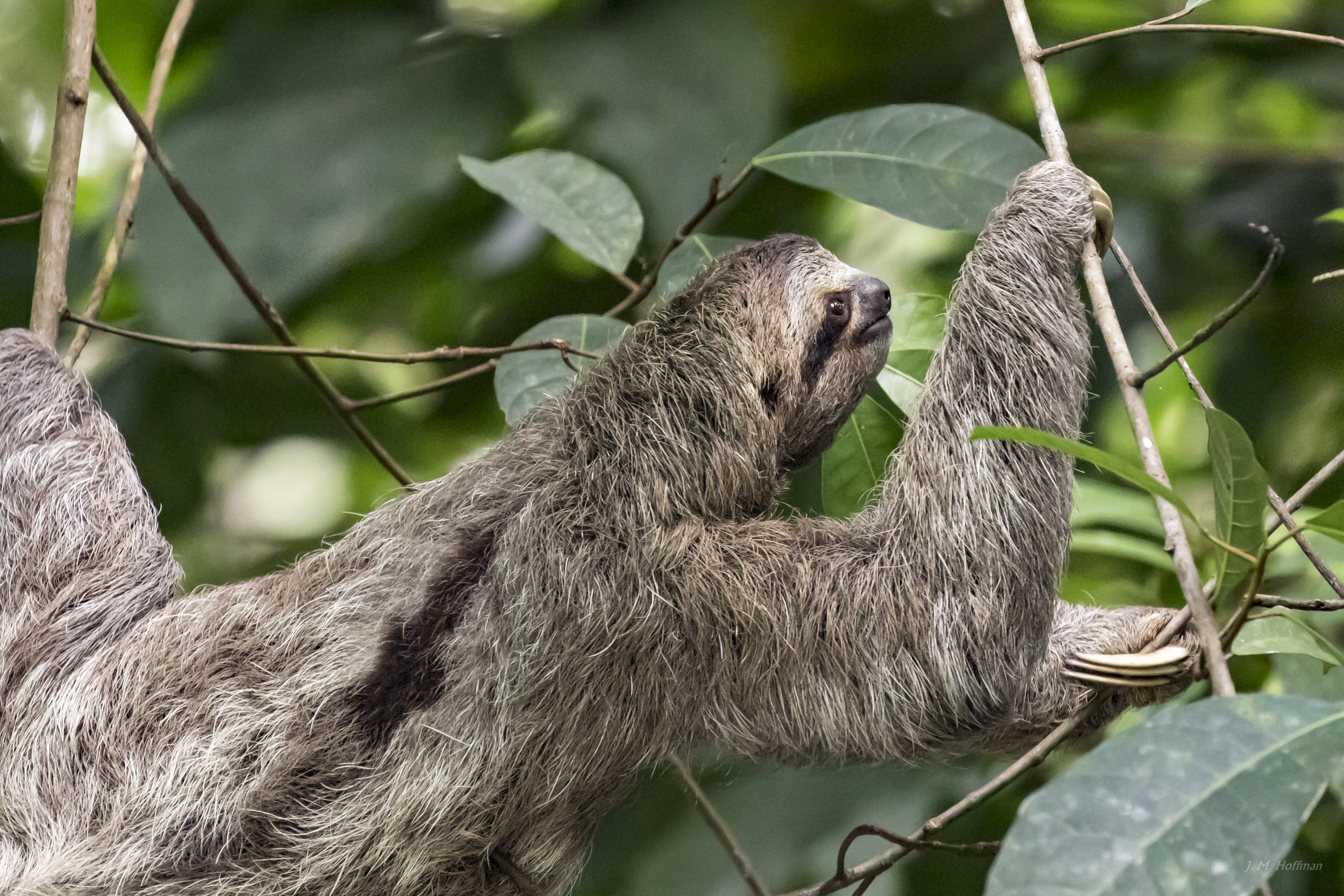 Sloth At Manuel Antonio National Park Lux Umbraque Light And Shadow